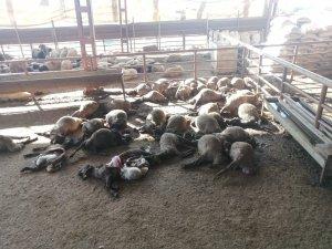 Mersin'de ağıla giren köpekler 50 küçükbaş hayvanı telef etti