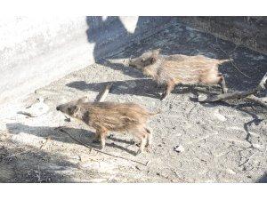 Sulama havuzuna düşen domuzları belediye ekipleri kurtardı