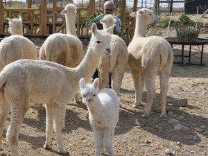 Türkiye'nin ilk alpakası doğdu