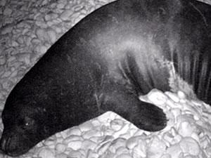 Nesli tükenmekte olan Akdeniz foklarını görüntülediler