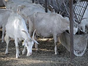 Üniversiteli keçilere büyük ilgi