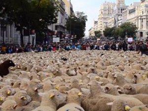 Madrid'i koyunlar bastı!