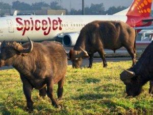 Hindistan'da akıl almaz kaza: Uçak sığıra çarptı