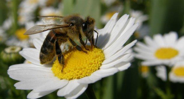 Arılar, dedektif oluyor