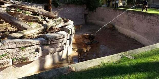 Haber olabilmek için kendini aslanların önüne attı