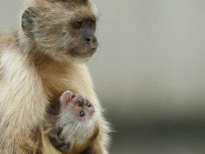Maymunlar, insanlardan daha zeki