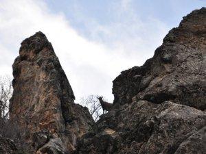 Dağ keçisi vuran avcılara büyük ceza