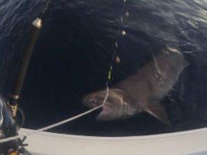 Dev köpek balığı oltaya böyle takıldı