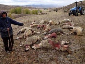 Sürüye saldıran kurtlar 30 koyunu telef etti