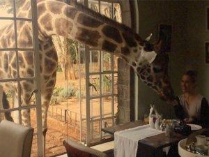 Zürafayla kahvaltı yapmak ister misiniz?