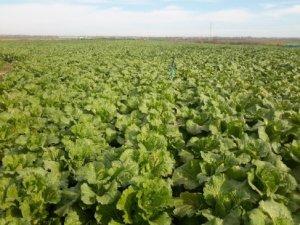 Sarıçam'da Çin lahanası yetiştiriliyor