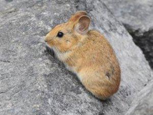 Çin, Pikachu'ları yok ediyor