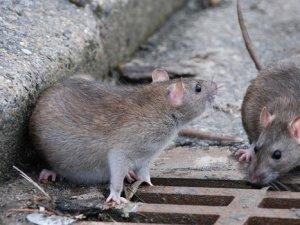 Kanada'da fare acil yardım hattı kuruldu