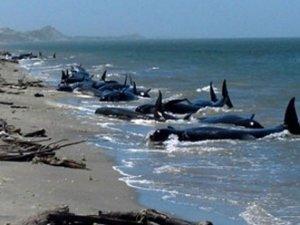 Yeni Zelanda'da 200 balina karaya vurdu
