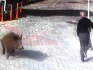 Lüks siteyi domuz sürüsü bastı