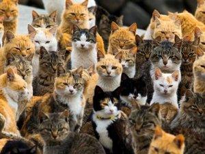 Japonya'nın Aoshima adasını kediler bastı
