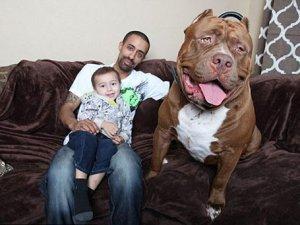 Dünyanın en büyük pitbullu! Henüz 17 aylık