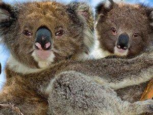 686 koala zehirli iğnelerle öldürüldü
