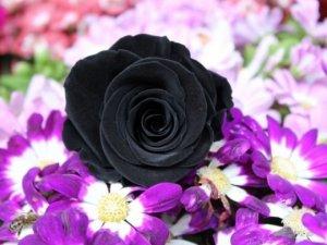 Siyah gülün fiyatı dudak uçuklatıyor