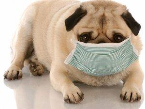 Şimdi de köpek gribi salgını