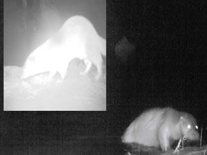 Küre Dağları'nda ilk kez su samuru görüntülendi