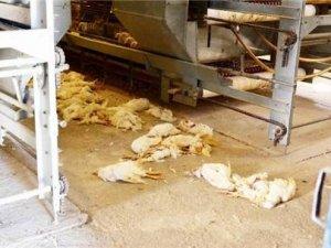 Kanatlı hayvanlar kuş gribinden ölmeye devam ediyor