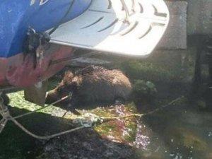 Beykoz'da denizden domuz çıktı