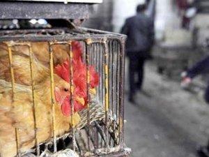 10 bin tavuk İstanbul'a gelmeden itlaf edildi! Sebebi ise kuş gribi