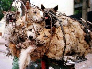 40 bin köpek festivale kurban gitti