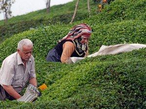 Çay üreticisine 12 kuruşluk fark!