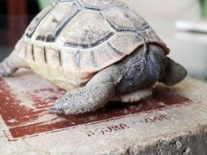4 aylık kaplumbağa ama kafası yok