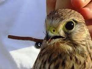 Yavru kuşlar doğaya salındı