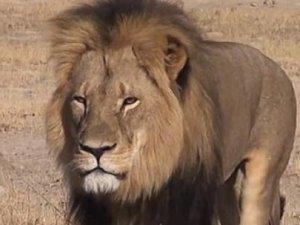 Afrika'nın en ünlü aslanı öldürüldü