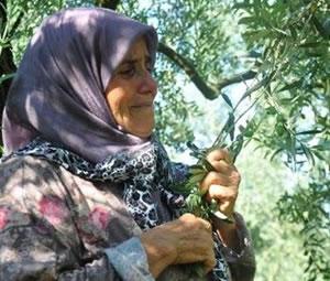 65 yaşındaki kadın zeytin ağaçlarına ağladı: Onlar benim çocuğum, kesmeyin!