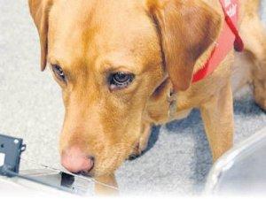 Kanseri koklayan köpekler görevde!