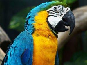 Hindistan'da papağanı gözaltına aldılar