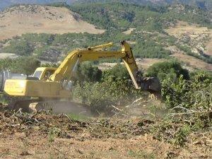 Jeotermal için asırlık incir ağaçlarını katlettiler