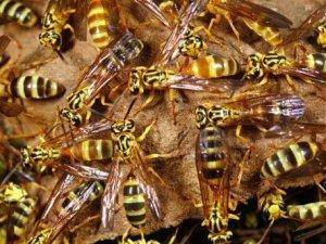 Eşek arısı zehri kansere umut olabilir