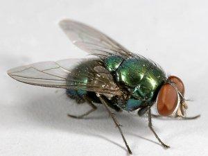 Çiftçilere, miyaz sineği uyarısı