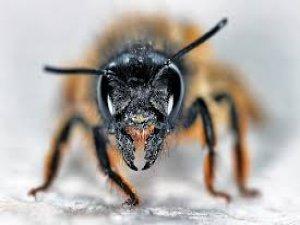 Eşek arısı zehri ilaç haline gelirse kansere umut olabilir