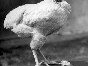 Başsız tavuk Mike 18 ay nasıl yaşadı?