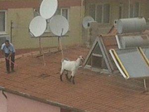 Çatı'da kurbanlık keçi kovaladılar