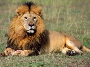 Parkta oynayan çocuğa aslan saldırdı