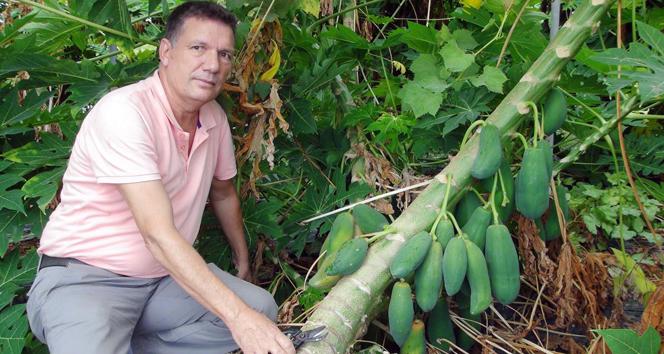 Yarışma programında gördü, papaya üretmeye başladı