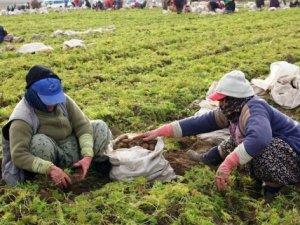 Havuç deposu Beypazarı'nda hasat başladı