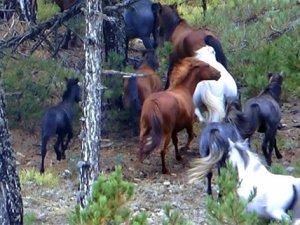 Domaniç'te Osmanlı'dan kalma yılkı atları görüldü