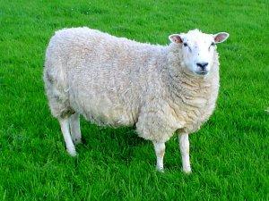 Bursa'da koyun dolandırıcılığı