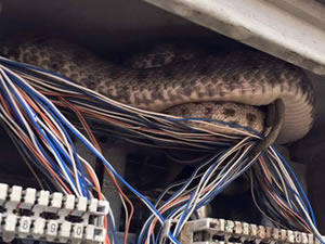 Telefonun tellerine yılan kondu