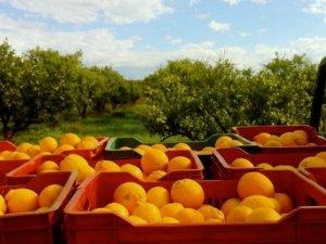 Antalya'da turuncu hasat başladı