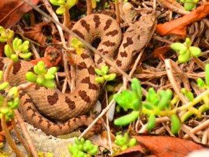 Bartın'da engerek yılanı görüntülendi